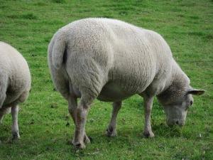 Sheep-Grazing